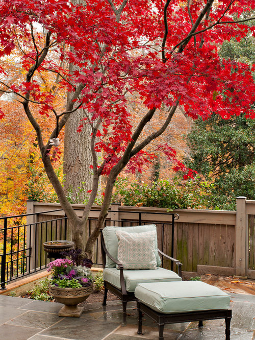 Outdoor Japanese Maples 95