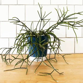 See How to Grow and Care for Fun and Funky Rhipsalis (8 photos)