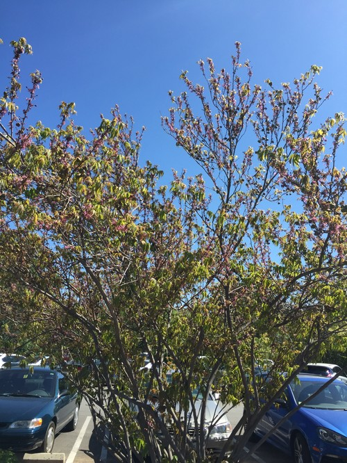 Name this pink flowering tree with bulbous seedpod mightylinksfo