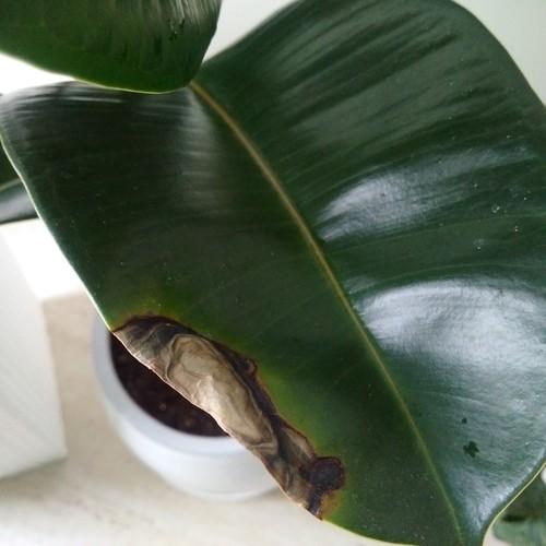 Ficus Elastica rubber Plant Spotsunburn