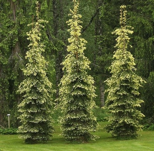 Some narrow forms of picea abies for Columnar evergreen trees for small gardens