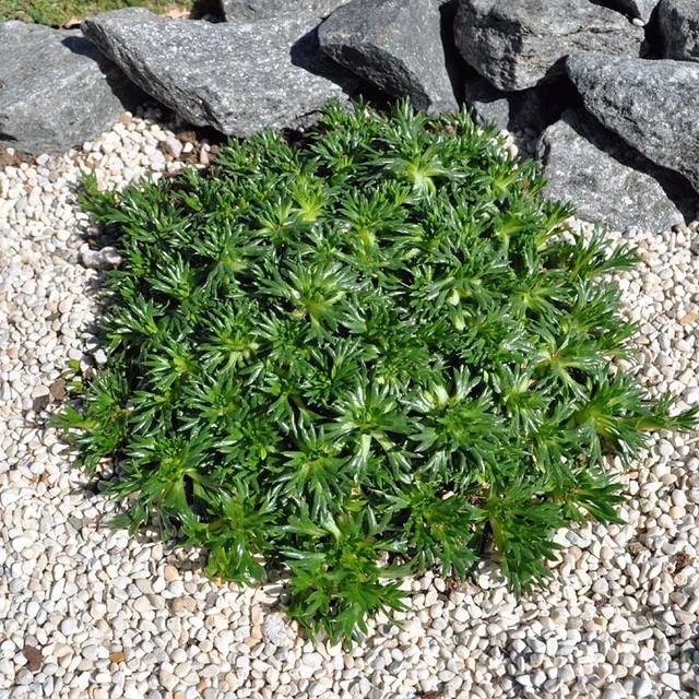 Azorella trifurcata nana, Emerald Cushion - Bolax incl. Heat Pack