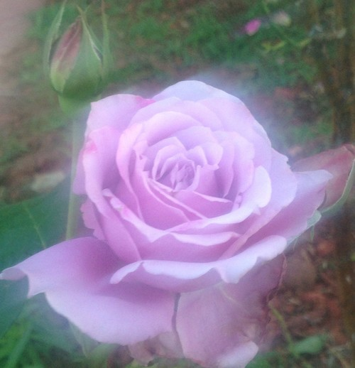 Show your roses by color lavender and purple - Show me the color lavender ...