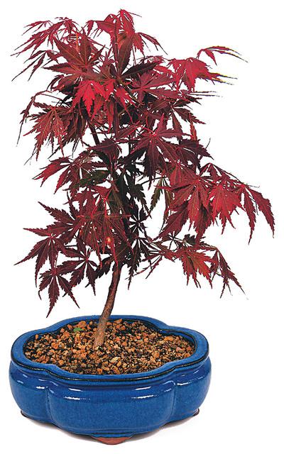 Brussel S Bonsai Japanese Red Maple Bonsai Tree