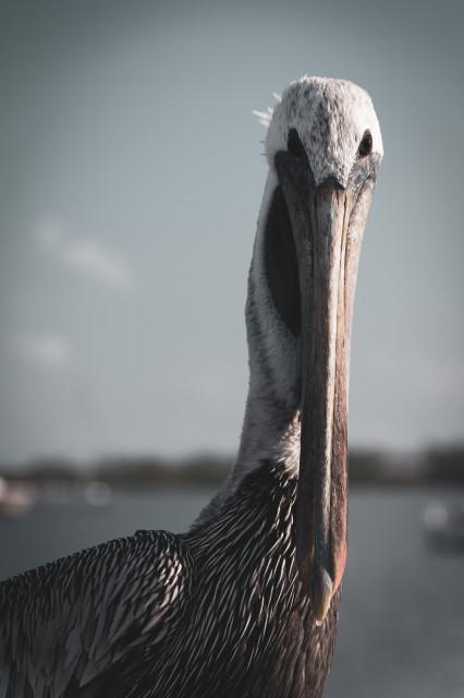 "Bob The Pelican Colorized Shore Bird Wildlife Photo Unframed Wall Art Print, 11"""