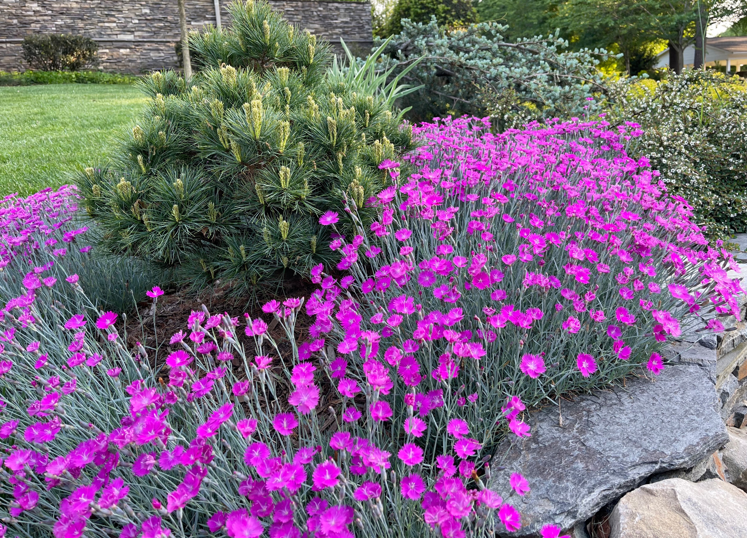 Dianthus and pine