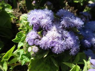 Fuzzy Periwinkle Flowers