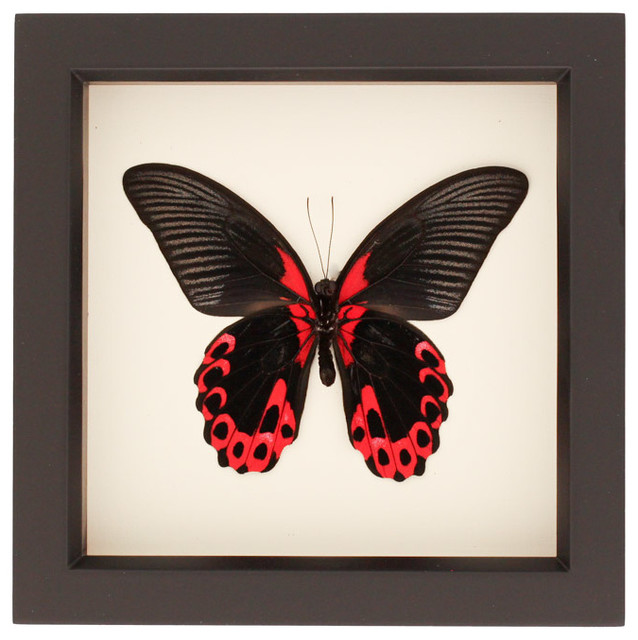 Bug Under Glass Quot Scarlet Mormon Quot Real Framed Butterfly
