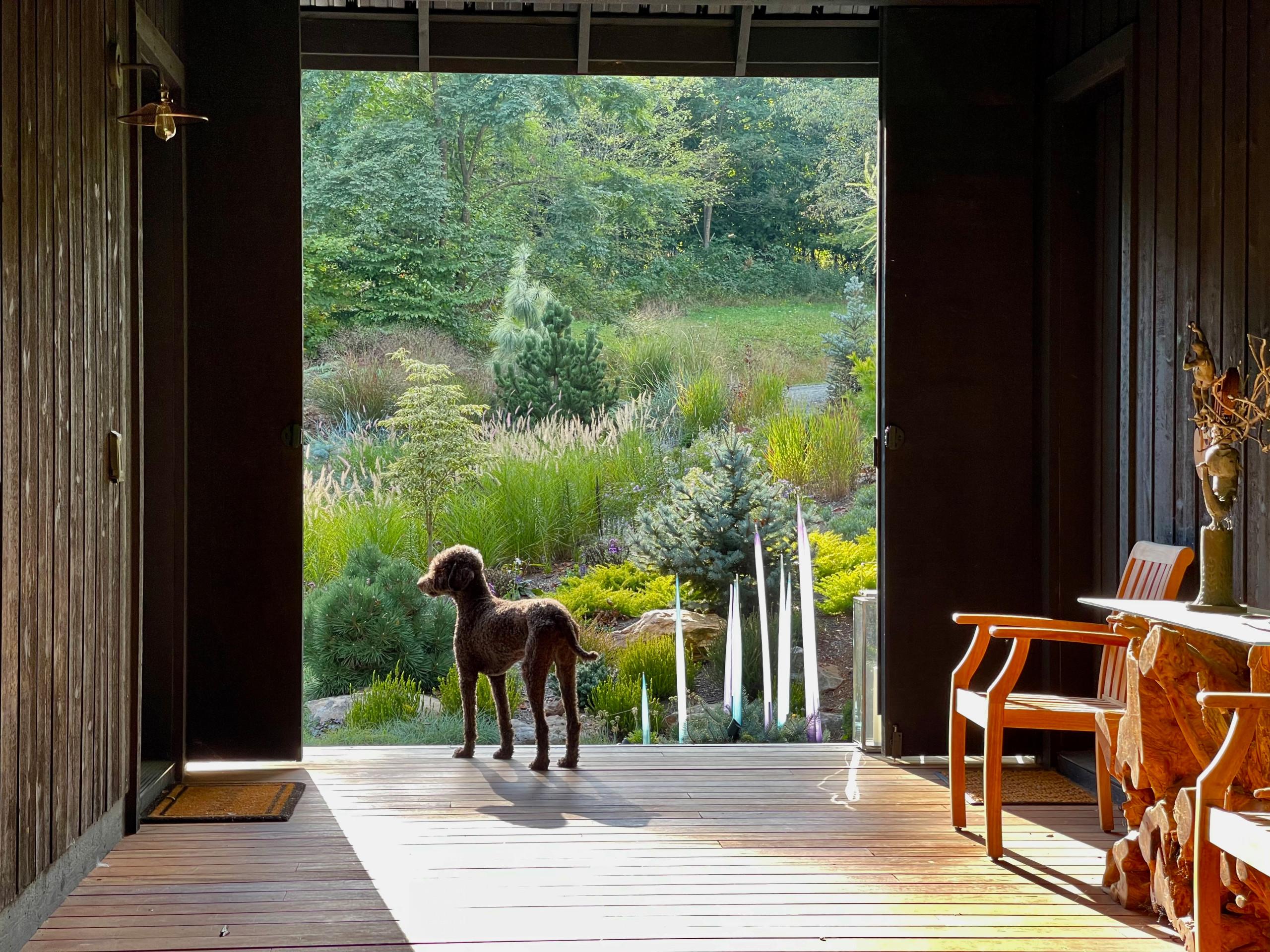 Dog Meets Dogtrot:  Sonoma Surveying the Garden