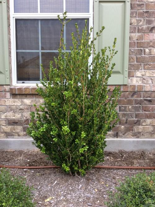 pruning yaupon holly as tree
