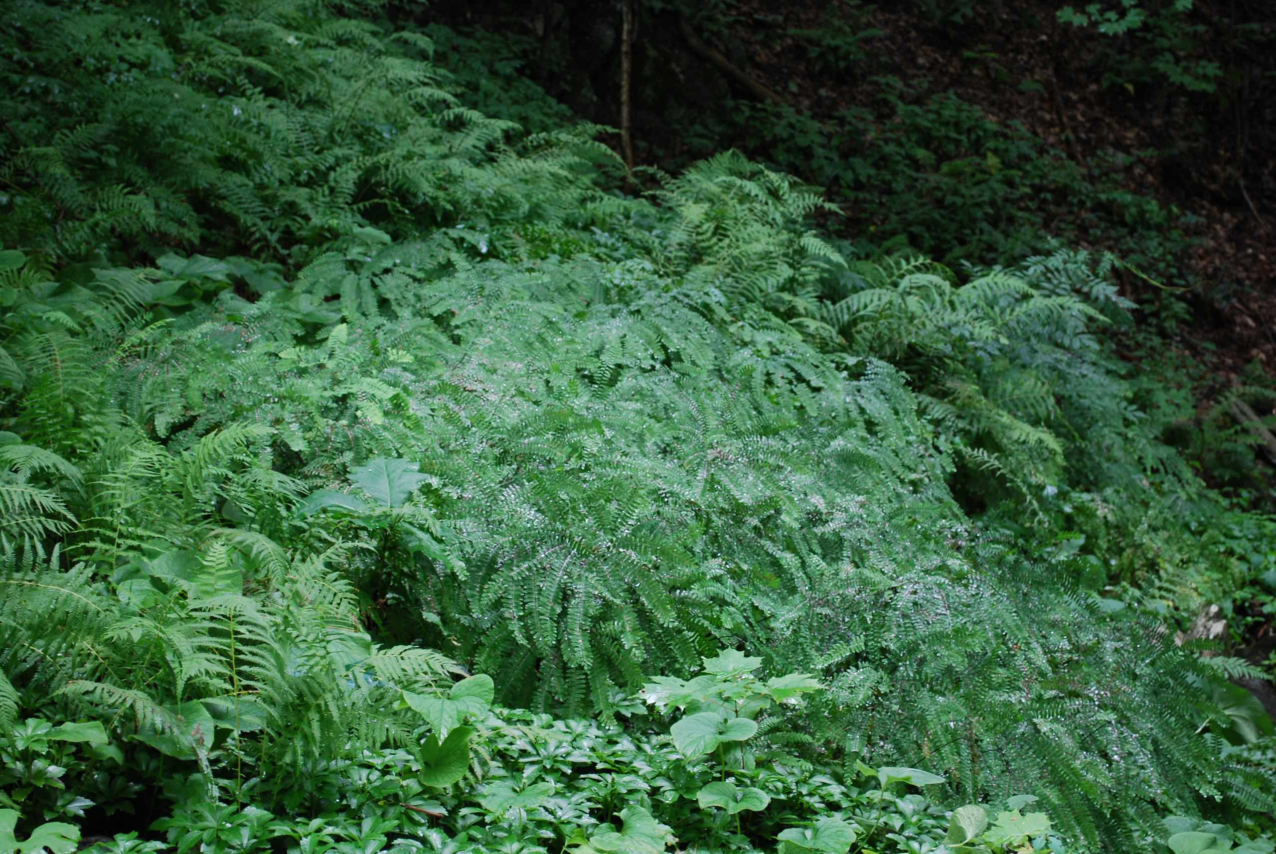 A fern garden at Innisfree