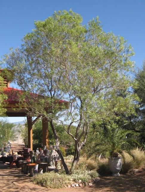 Timeless Beauty Desert Willow Phoenix By Monrovia