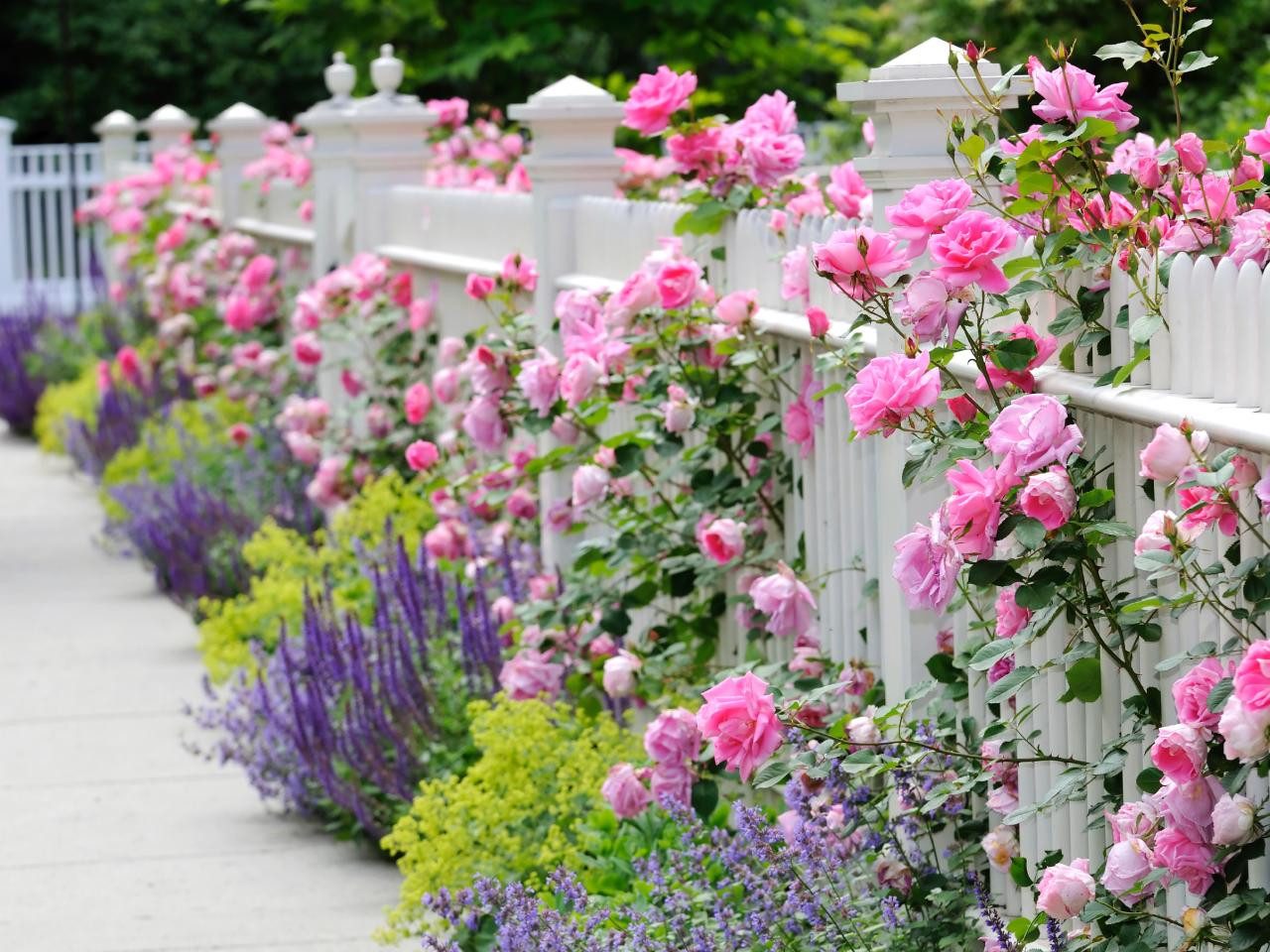 Pink Delight Roses on Picket Fence by Walpole