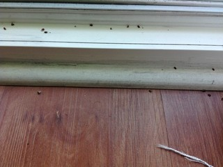 Small Dead Bugs All Over Window Sills Everyday Help