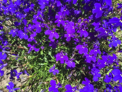 how to make weed turn purple