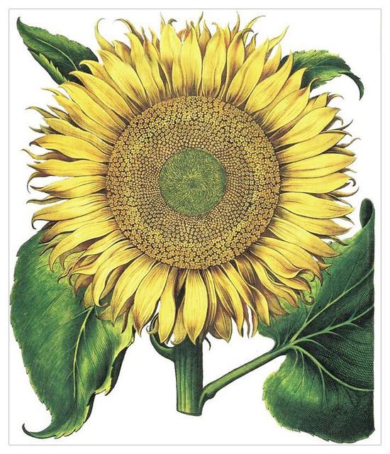 """""""Sunflower"""" Besler Botanical Print, 60x70 cm"""