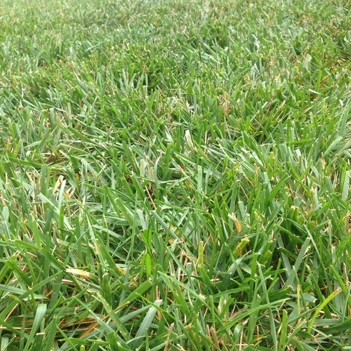 K31 or TTTF? Need help identifying grass for overseeding.