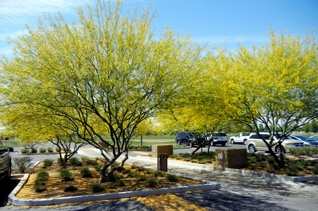 Great Design Plant Desert Museum Palo Verde Offers A