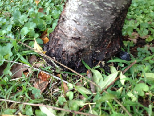 Peach Tree Trunk Disease?