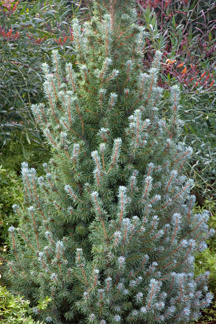 Blue Wonder Dwarf Alberta Spruce Contemporary Plants