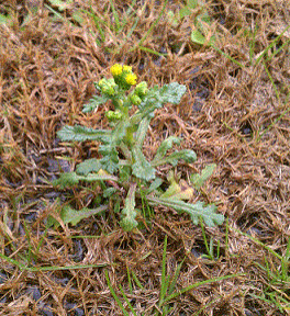 2 weed issues yellow flowered weed and grass like weed mightylinksfo