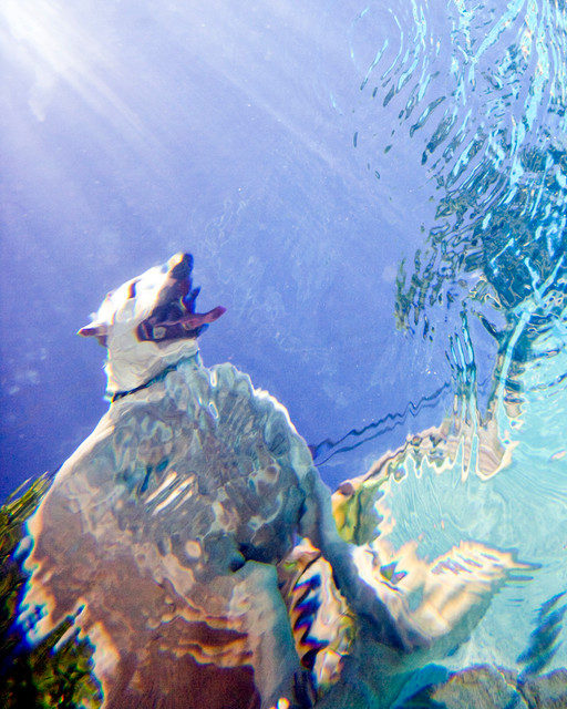 Underwater Photographaph u0026quot;Fat Dogu0026quot; - Contemporary - Prints And Posters - by Stephanie LaVigne ...