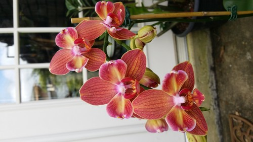 phalaenopsis tetraspis red and white christmas