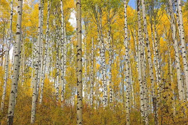 Grove Of Alaska Aspens Wallpaper Wall Mural, Self Adhesive Contemporary Wall  Decals Part 91