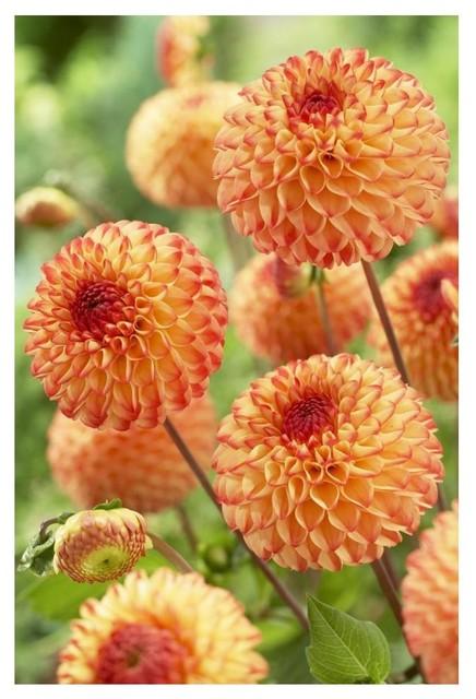 Dahlia Mirella Variety Flowers Digital Paper Print By