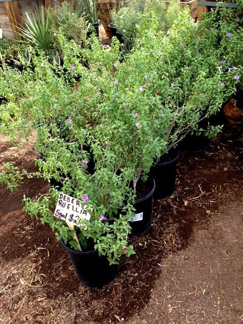 Great Design Plant: Desert Ruellia