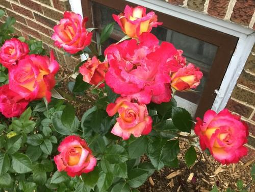 Rose no florece: razones para los arbustos de Rose que no florecerán