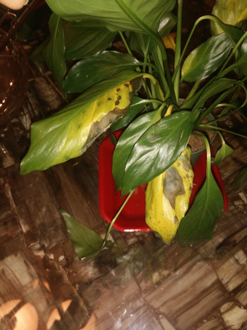 Help Peace Lily Yellow Leaves With Black Spots Including