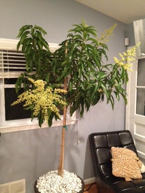 How Indoor Glenn Mango Pollinate?