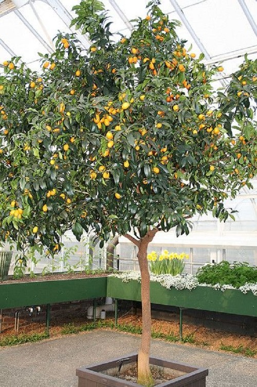 How Much Fruit Are You Getting From Your Potted Citrus Tree