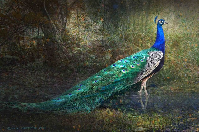 Jungle Stream Peacock Print On Canvas By Chris Vest.