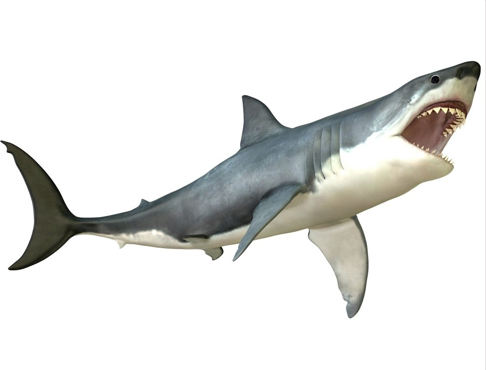 GREAT WHITE SHARK GLOSSY POSTER PICTURE PHOTO PRINT ocean large jaws 4743
