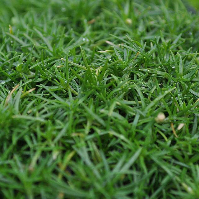 Sagina Subulata   Irish Moss For Miniature Garden, Fairy Garden Rustic  Plants