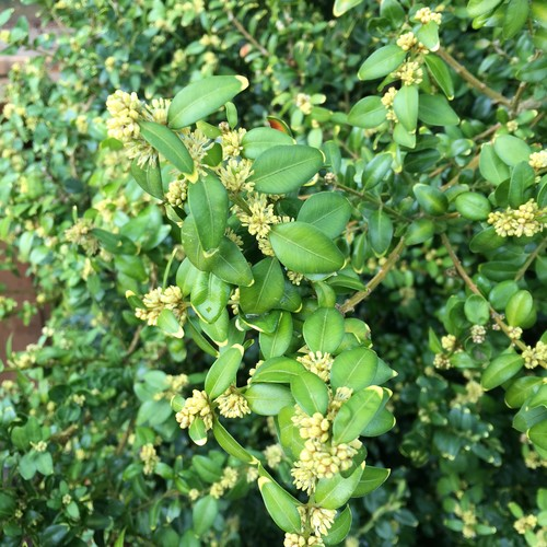Evergreen shrub yellow flowers image collections flower decoration evergreen shrub variegated leaves tiny yellow flowers a closer look at the leaves and flowers mightylinksfo mightylinksfo