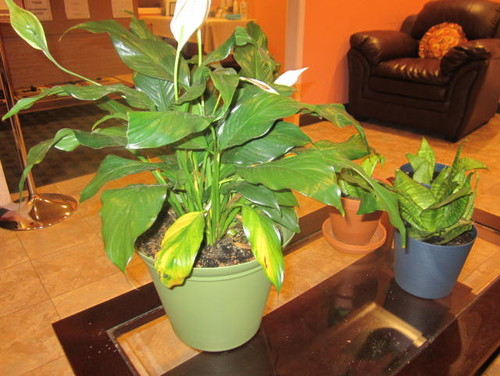 peace lily has yellow leaves. Black Bedroom Furniture Sets. Home Design Ideas