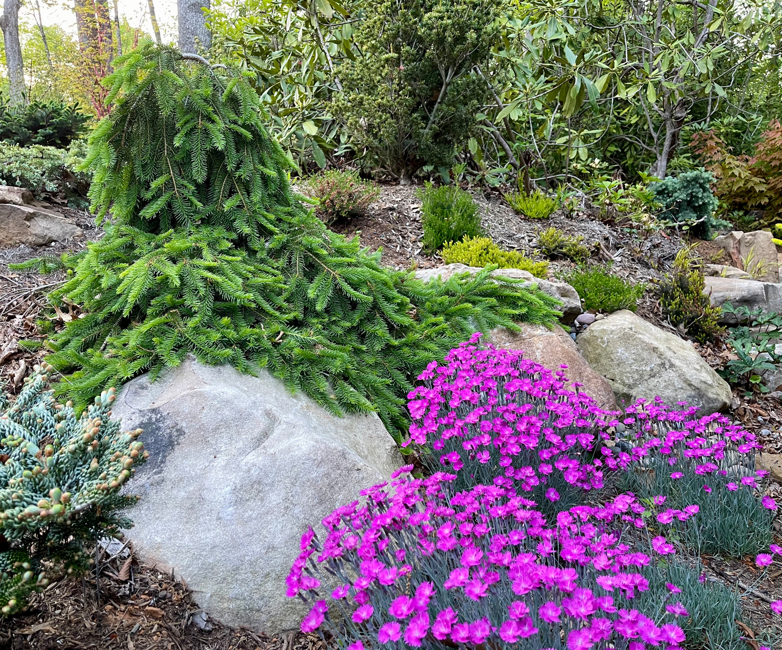 Picea abies 'Formanek' with 'Firewitch' dianthus