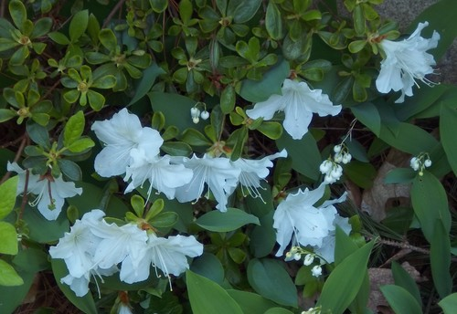 Shrub with white flowers today eastern massachusetts in the photo the big white flowers and small leaves are the shrub that i want ided the small white flowers and big leaves are lily of the valley mightylinksfo Images
