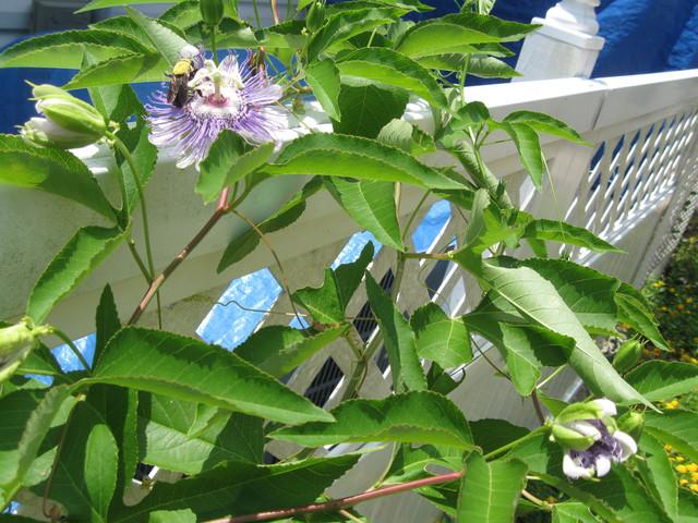 Great Design Plant Passiflora Incarnata