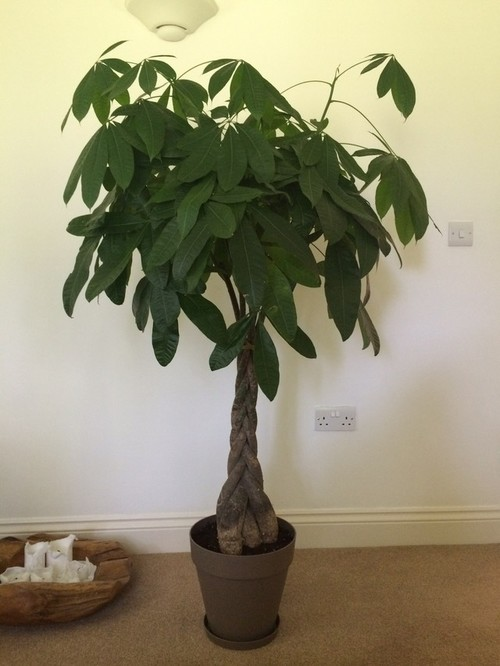 how to take care of a chinese money tree