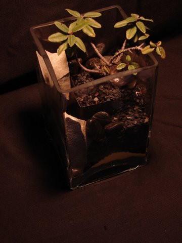 Rhamnus (California Coffeeberry)