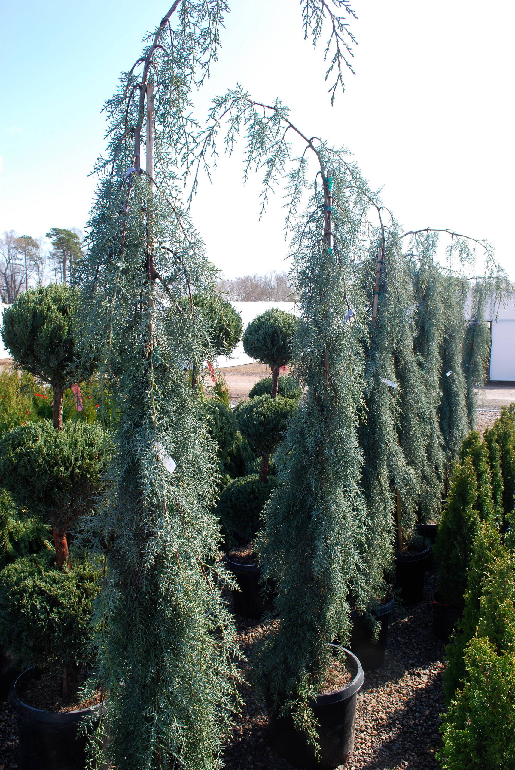 Raywood's weeping cypress