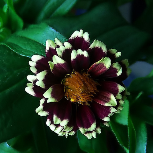 It Can Be Fun To Breed Your Own Zinnias Part 31