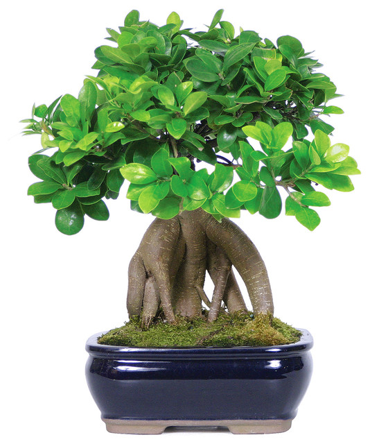 brussels bonsai ginseng grafted ficus bonsai tree plants