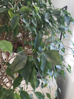White Spots On Ficus Leaves