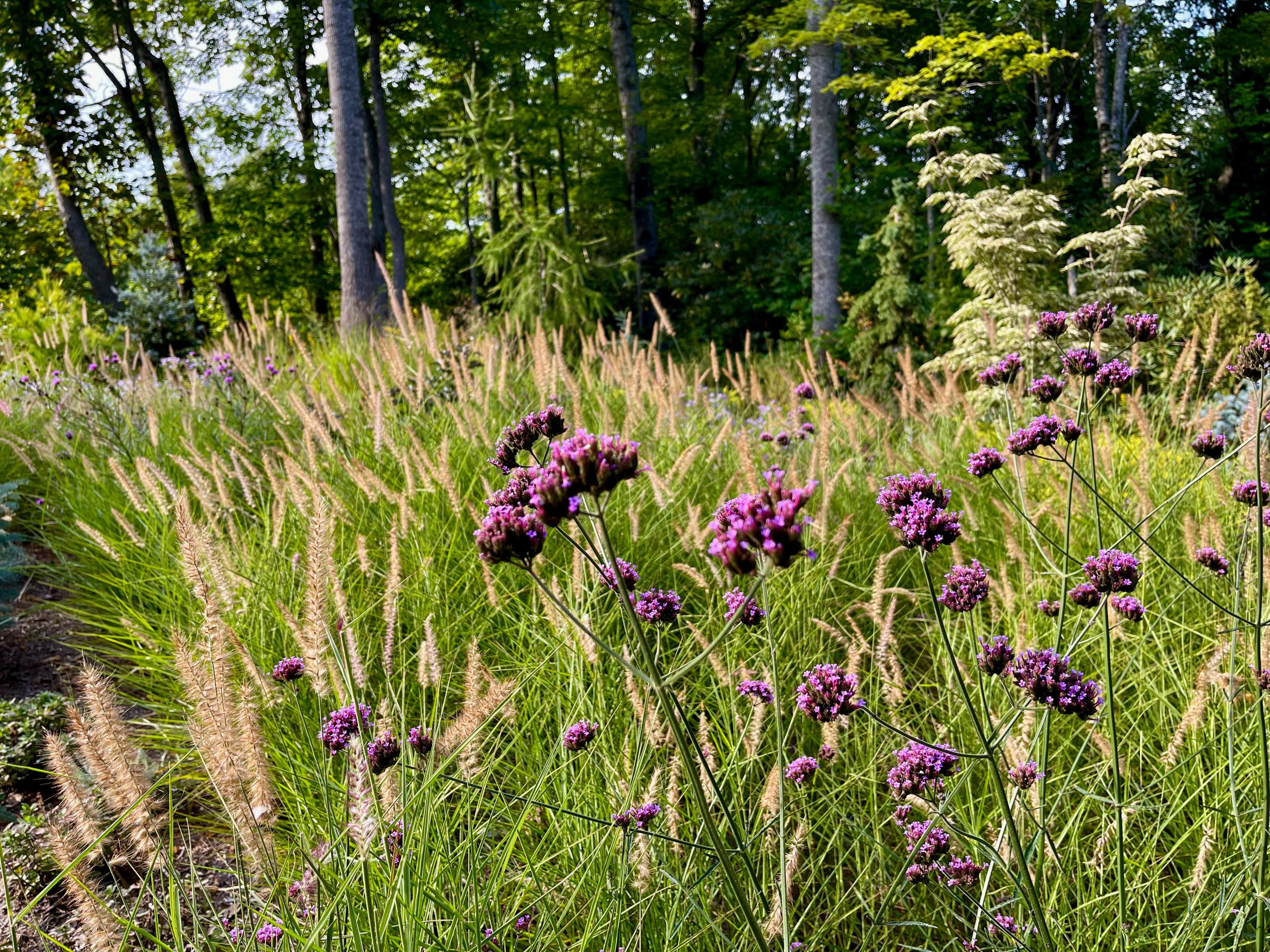 Verbena bonariensis and 'Northwind' panicum.