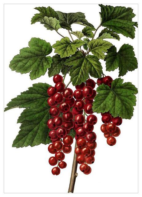 """Red Currant"" Botanical Print, 42x59 cm"